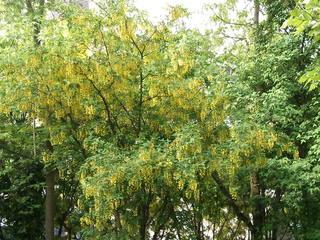 Goldregen - Goldregen, giftig, Laburnum, Bohnenbaum, Goldrausch, Gelbstrauch, Schmetterlingsblütler, Strauch