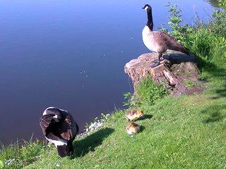 Kanadagansfamilie am Uferrand - Gans, Kanadagans, Gänse, Küken, Nachwuchs, Flaum, Ufer, Aufzucht, Brut, Nachwuchs, Vogel, schwimmen, Familie
