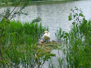 Schwan mit Jungtieren - Schwan, Höckerschwan, Muttertier, Jungtier, Nest, Nestpflege, Nestbau, Vogelnest, Vogel, Wasservogel, Uferbereich
