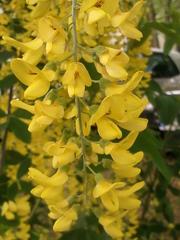 Goldregen-Blüten - Goldregen, giftig, Laburnum, Bohnenbaum, Goldrausch, Gelbstrauch, Schmetterlingsblütler, Strauch, gelbe Blüten