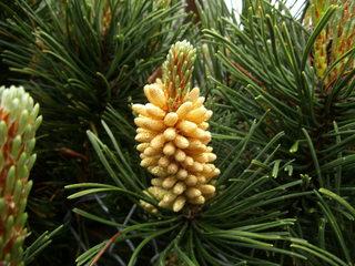 Blüte einer Kiefer#2 - Kiefer, Nadelholz, immergrün, Kieferngewächse, Pinaceae, Nadelbaum, Zapfen, Blütenstaub, Blüte