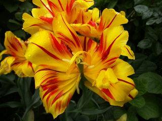 Tulpe - Blütenstempel, Tulpe, Fruchtblätter, Blüte, Fruchtknoten, Samenanlage, Griffel, Narbe Frühblüher