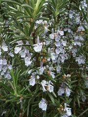 Rosmarin#2 - Rosmarin, Blüte, Gewürzpflanze, Heilpflanze, Mittelmeer, mediterran, Kräuter, Lippenblütengewächs, ätherische Öle
