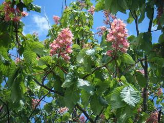 Blüten einer Rosskastanie#2 - Kastanie, Rosskastanie, Baum, Blätter, Blüten, rot, grün, Blütenstand