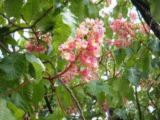 Blüte einer Rosskastanie#1 - Kastanie, Rosskastanie, Baum, Blätter, Blüten, rot, grün, Blütenstand