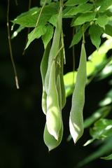Schoten des Blauregens - Glycinie, Blauregen, Wisteria, Schlingpflanzen, Schmetterlingsblütler, giftig, Schoten, grün, hängen