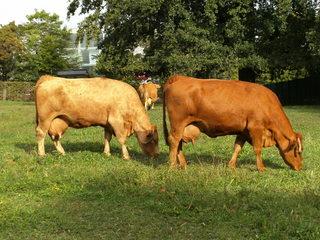 Kühe beim Weiden - Nutztier, Milch, Kuh, Fleckvieh, Wiederkäuer, Weide