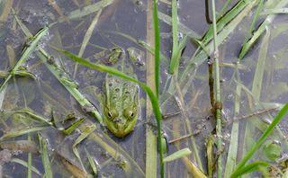 Wasserfrosch - Frosch, Teichfrosch, Wasserfrosch, Rana esculenta, Teich, Wasser, Amphibie, Tarnung, tarnen