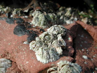 Seepocken - Krebs, Krebstiere, Crustacea, Meer, Ostsee, Nordsee, Einsiedlerkrebs, Muschel, Zangen, kneifen, Seepocken