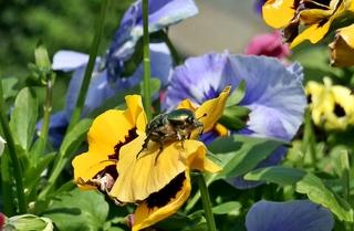 Rosenkäfer beim Start - Käfer, Rosenkäfer, Goldrosenkäfer, Insekt, Gliedertier, Blatthornhäfer, krabbeln, geschützt, glnzen, glänzend, schillernd, Stiefmütterchen, Blüte