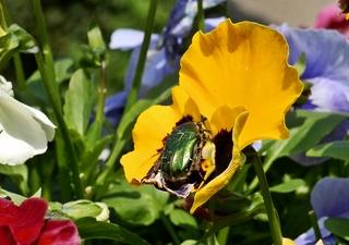 Rosenkäfer - Rosenkäfer, Goldrosenkäfer, krabbeln, Insekt, Gliedertier, geschützt, Blatthornkäfer, schillern, glänzen, glänzend, Stiefmütterchen, Blüte