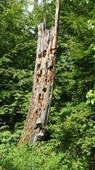 Totholz - Thema Wald, Kreislauf, Totholz, Biotop, Biotopschutz, Artenschutz, Moderholz, absterbend, tot, Holz, Baum, Pfahl, wertvoll, Käfer, Insekten, Pilze, Baumpilze, Moos, Zersetzung, Organismus, verrotten, Flechten, Alter, Zerfall, Habitat