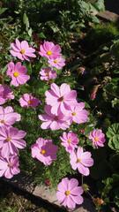 Schönkörbchen - Blume, Blüte, Sommer, Pflanze, Schmuckkörbchen, Cosmos, Cosmee, Kosmee, Korbblütler, Schnittblume, Gartenpflanze, Blüten