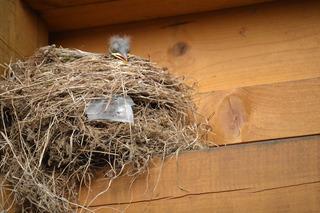 Amselnest mit Jungem - Amsel, Schwarzdrossel, Jungvogel, Amseljunges, Vogel, Nest