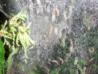 Gespinstmotte #2 - Gespinstmotte, Gespinst, Motte, Schmetterling, Nachtfalter
