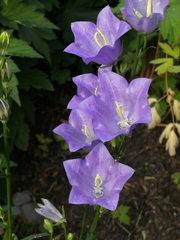 Rundblättrige Glockenblume - Glockenblume, rundblättrig, Glockenblumengewächs, blau, Heilpflanze