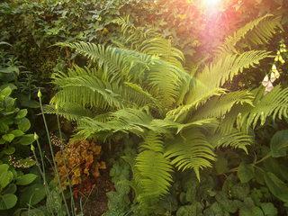 Farn #1 - Farn, Farnkraut, Garten, grün, Natur, Feuchtgebiet, Gefäßsporenpflanze, Wald, Sporen, Blätter