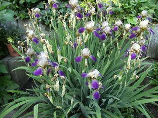 Schwertlilie - Iris, Schwertlilie, lila, blau, Heraldik, Lilie