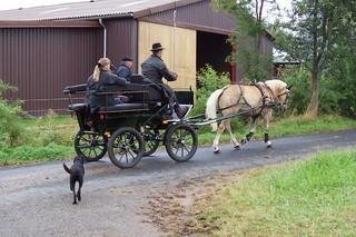 Kutsche Einspänner - Tiere, Haustiere, Pferd, Haflinger, Kutsche, ziehen, Pferdefuhrwerk, Pferdewagen, Gespann
