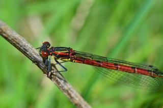 Frühe Adonislibelle #1 - Libelle, Kleinlibelle, Adonislibelle, früh, Pyrrhosoma nymphula, Schlanklibellen