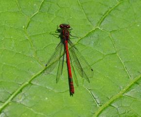 Frühe Adonislibelle #3 - Libelle, Kleinlibelle, Adonislibelle, früh, Pyrrhosoma nymphula, Schlanklibellen