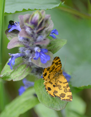 Panther-Spanner #1 - Schmetterling, Falter, Nachtfalter, Pseudopanthera macularia