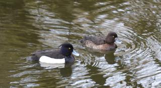 Reiherenten  - Vogel, Vögel, Ente, Enten, Aythya fuligula, Entenvögel, Tauchenten