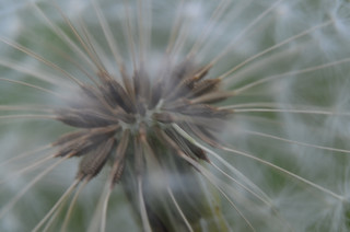 Pusteblume  - Pusteblume, Löwenzahn, Samen, Schirmchen, Kuhblume, Früchte, Schirmflieger, Asternartige, Korbblütler