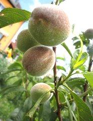 Pfirsiche am Baum - Obst, Pfirsich, Steinobst, Rosengewächs, Frucht, unreif, Sommer, Wärme.
