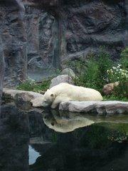 Eisbär - Eisbär, Zoo, klein, Wasser, traurig, einsam, Einzelgänger, Spiegelbild, spiegeln, Schreibanlass