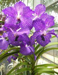 Orchideenblüte - Orchidee, Blüte, Pflanze, Phalaenopsis, Vanda Hybride, Zierpflanze