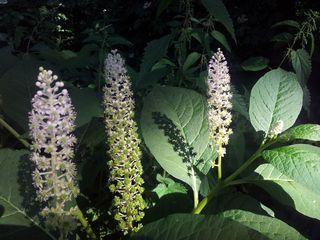 Kermesbeere - Phytolacca acinosa, Kermesbeere, giftig, krautig, Färbepflanze, Farbstoff