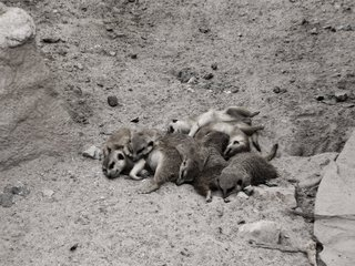 Erdmännchen - Erdmännchen, beige, Sand, Babies, Jungtier, schlafen, müde, kuscheln, Tarnfarbe, faul, satt