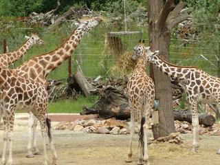 Giraffen - Giraffe, Muster, Fütterung, Zoo, Tier, Savanne, Biologie, Giraffen, Tarnung, Camouflage