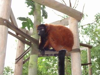 Lemuren - Lemuren, Madagaskar, Zoo, handzahm, Biologie, braun, klettern, Affe, klettern