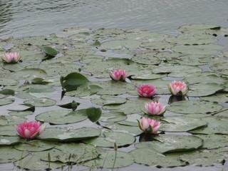 Seerosen - Seerosen, Wasserpflanze