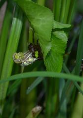 Libellenlarve - Schlüpfen Teil3 - Libelle, Larve, Libellenlarve, schlüpfen, blaugrün, Mosaikjungfer, Aeshna cyanea