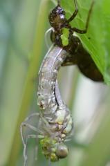 Libellenlarve - Schlüpfen Teil4 - Libelle, Larve, Libellenlarve, schlüpfen, blaugrün, Mosaikjungfer, Aeshna cyanea
