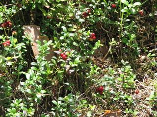 Preiselbeeren - Preiselbeeren, Beeren, Wald, Moor, Heidekrautgewächs, Kronsbeere, Grante, Moosbeere, Grestling, Riffelbeere, Heilpflanze, Wildfrucht