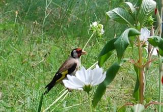 Stieglitz  - Vogel, Vögel, Carduelis carduelis, Sperlingsvogel, Singvogel, Finken, Zeisige, Stieglitzartige, Distelfink