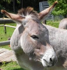 Esel - Esel, grau, Zoo, Zugtier, Haustier, Unpaarhufer, Bauernhof