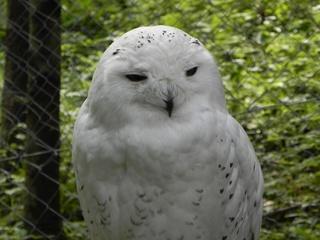 Schneeule - Schneeule, Eule, Schnee, Winter, Tarnung, Vogel, Gefieder