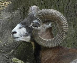 Mufflon - Mufflon, Schaf, Gebirge, Horn, Wild
