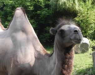 Trampeltier - Trampeltier, Kamel, Wüste, Höcker