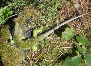 Zauneidechse - Eidechse, Tarnung, grün, Reptil, Kriechtier, kriechen
