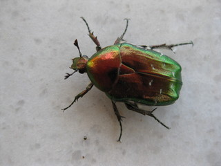 Großer Rosenkäfer - Käfer, Insekt, Körperteile, Körper, Beine, Flügel, Fühler, großer Rosenkäfer, großer Goldkäfer, Blatthornkäfer