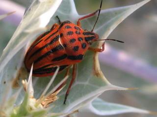 Fleckige Streifenwanze - Insekten, Wanze, Zeichnung, Fühler, Beine, Körperteile, Baumwanze, fleckige Streifenwanze, Fluginsekt