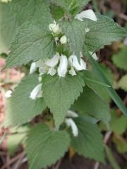 Weiße Taubnessel 1 - Weiße Taubnessel, Lamium album, Lippenblütengewächse, Lamiaceae, Wildkräuter