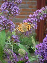 Distelfalter geöffnet - Schmetterling, Tagfalter, Wanderfalter, Nymphalidae, Vanessa cardui, orange, Symmetrie, flattern, Schmetterlingsflieder