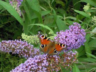 Tagpfauenauge  - Tagpfauenauge, Tagfalter, Nymphalidae, Fleckenfalter, Inachis io, Abschreckung, Augen, Mimikry, Symmetrie, flattern, Schmetterlingsflieder